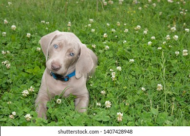 Weimaraner puppy lying in grass, looking at the viewer with an adorable head tilt