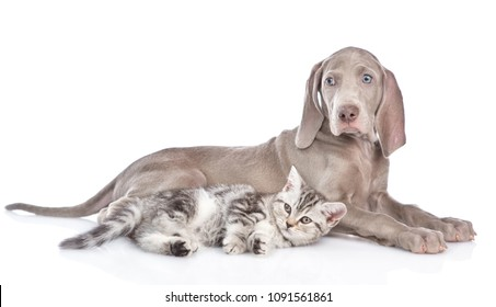 Weimaraner puppy lying with tabby kitten and looking at camera. isolated on white background