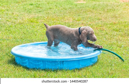 Weimaraner puppy in a plastic pool on a hot summer day, pawing at water hose