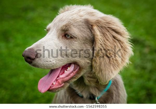 Weimaraner puppy portrait profile shot and smiling