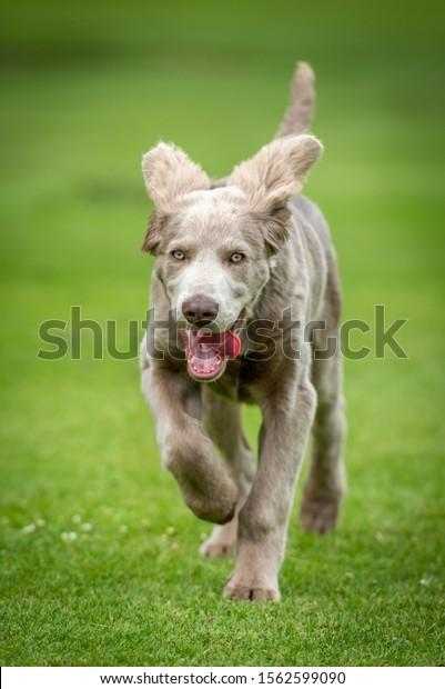 Weimaraner puppy running on grass