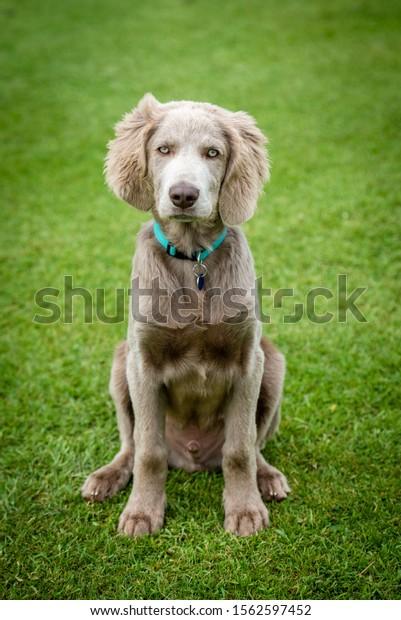 Weimaraner Puppy sitting up on grass