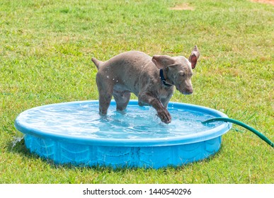 Weimaraner puppy splashing water with his paw in a kiddie pool on a hot summer day
