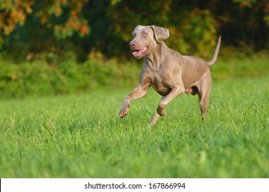 Weimaraner runs happily above the meadow