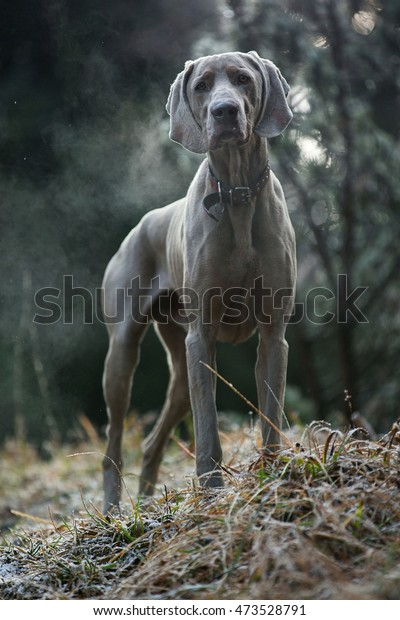 Weimaraner in Slovakia autumn nature. Photo gray dog. Weimaraner on your feet.