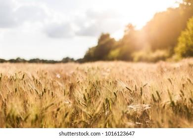 Weizenfeld im Gegenlicht
