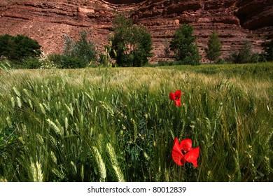 Weizenfeld in Marokko