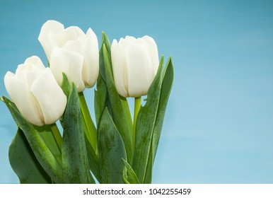 Welcome spring! Greeting card with white tulip on the blue background.