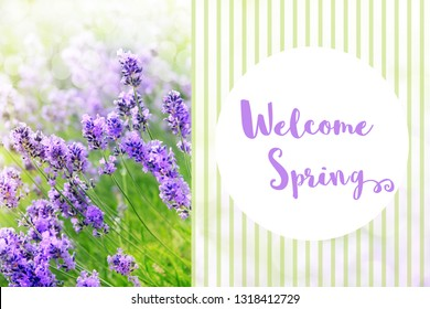 Welcome Spring message. Beautiful field of purple lavender flowers in full bloom outside in the garden on a warm springtime day.