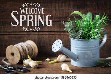 Welcome Spring message - Springtime gardening concept with spring flower bulbs and freshly cut rosemary, thyme and sage sprigs in a decorative rustic watering can