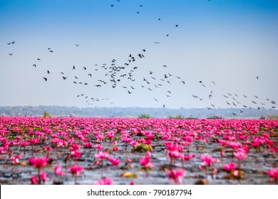Welcome to Spring open Season travel  concept.Beautiful Nature Landscape red Lotus sea in the morning with fog blurred background in the bright day,Thailand, lotus, red lotus sea, Udon Thai.