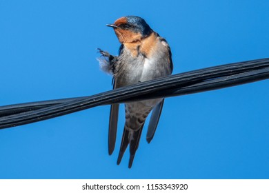 Welcome Swallow - Taken at Tuggerah Lakes, a wetland system of three interconnected coastal lagoons, located on the Central Coast of New South Wales, Australia
