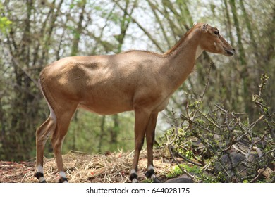 well built antelope