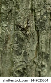A well camouflaged Large Mossy Glyph Moth is clinging to the bark of a tree hiding from predators in plain sight. Taylor Creek Park, Toronto, Ontario, Canada.