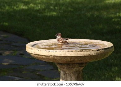 A well invigorated Field Sparrow finishes it's final lap of swimming as it nears the edge of the pond.