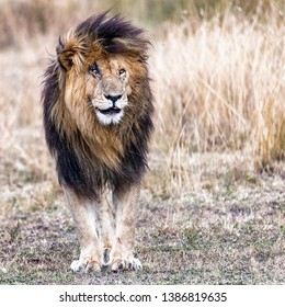 Well known African lion called Scarface or Scar standing in the grasslands of the Masai Mara National Reserve in Kenya Africa