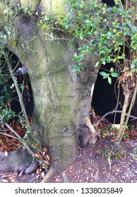 a well rooted copper beech tree of over fifty years old in bexleyheath kent united kingdom