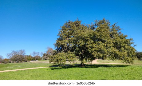 a well shaped live oak tree and green grass in winter