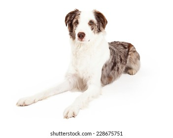 A well trained Border Collie Dog laying while looking forward.