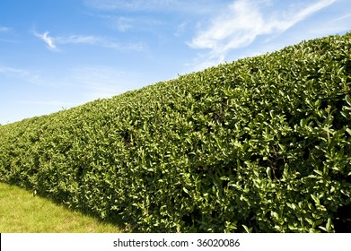Well Trimmed Hedge like you would find on a groomed lawn