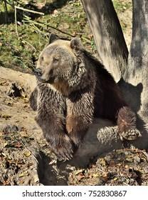 Well-being of the Eurasian brown bear (Ursus arctos arctos)