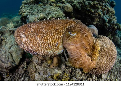 A well-camouflaged Broaclub cuttlefish, Sepia latimanus, blends into a coral reef in Komodo National Park, Indonesia.