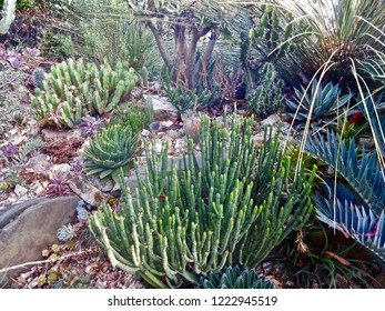 A well-established succulent rock garden full of drought tolerant plants (euphorbia & agave) in Berkeley, California