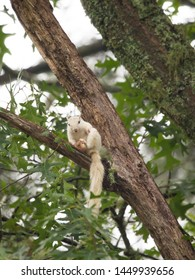 A well-fed wild white squirrel pauses in a large tree in Brevard, North Carolina.  The color is caused by a genetic mutation.