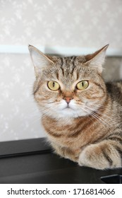 A well-groomed domestic cat in a peaceful posture