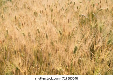 Well-grown barley