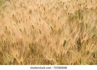 Well-grown barley
