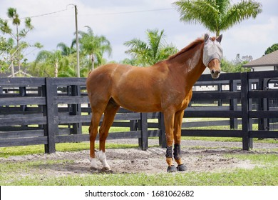 Wellington, Florida/USA - February 26, 2020: A horizontal image of a chestnut horse in a paddock in Palm Beach County, Florida.