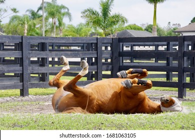 Wellington, Florida/USA - February 26, 2020: A horizontal image of a chestnut horse lying down in a paddock in Palm Beach County, Florida.