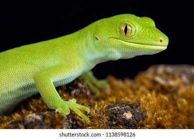 The Wellington green gecko (Naultinus punctatus)