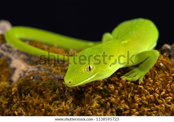The Wellington green gecko (Naultinus punctatus)