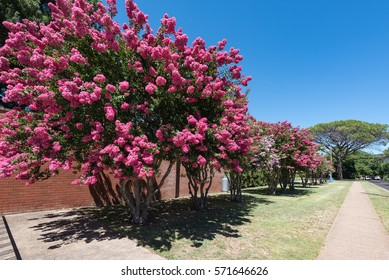 Wellington Memorial Pool, awesome place for summer vacation, with beautiful crepe myrtle blooms. Crepe myrtle or Lagerstroemia indica or Saru-suberi.