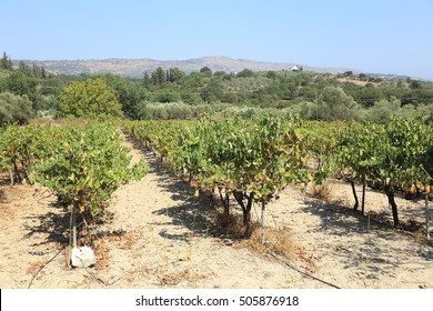 Well-maintained grapevines in a vinyard at Nipos in the Apokoronas area of Crete, Greece. Wine is a major product of Cretan agriculture.