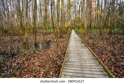 A well-maintained low boardwalk runs through a swamp at Congaree National Park in South Carolina.