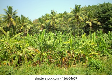 Well-maintained plantations of banana and coconut palms 1. Pleasing to eye tropical garden.