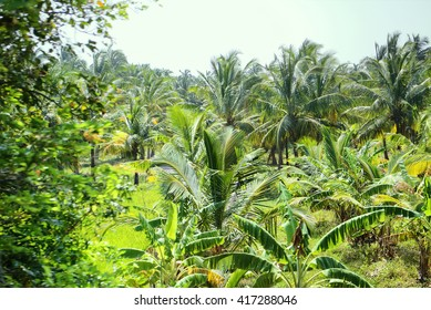 Well-maintained plantations of coconut palms 1. Pleasing to  eye garden. View from passing car