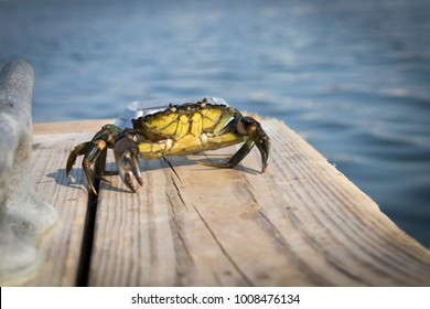 WELLS HARBOR, MAINE, USE: AUGUST 20TH, 2017:  A green crab is crawling across a wooden dock on a summer day  making its way back to the ocean.