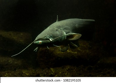 Wels catfish, sheatfish (Silurus glanis),