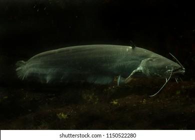 Wels catfish, sheatfish (Silurus glanis).
