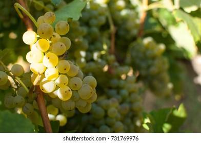 Welschriesling grape in autumn.