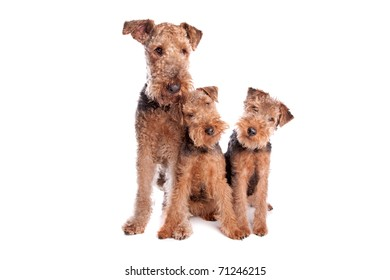 Welsh Airedale Terrier dogs
