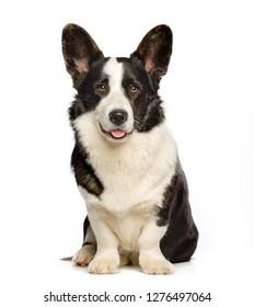 Welsh Corgi Cardigan Dog  Isolated  on White Background in studio