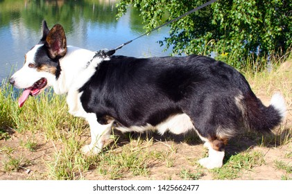 welsh corgi cardigan dog walks in the summer in the park