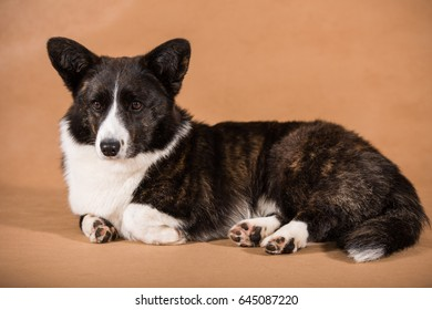 Welsh corgi cardigan is on light brown background
