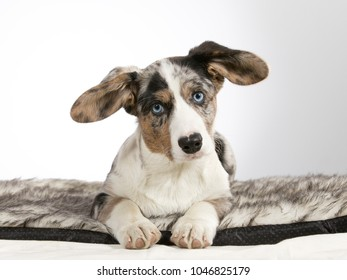 Welsh corgi cardigan puppy portrait. Image taken in a studio with white background. Funny dog with big ears and blue eyes.