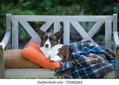 Welsh corgi cardigan is resting on a bench under blanket in the yard, head up